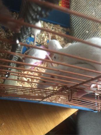 Продам крысят альбиносов