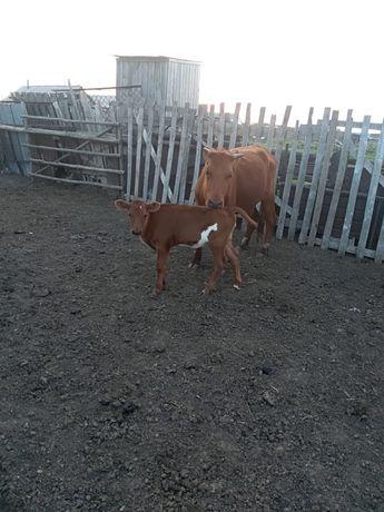 Продам коровы с телятами