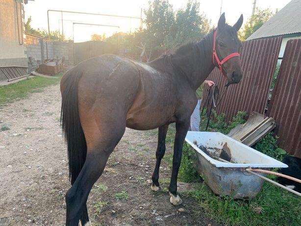 Лошадь(англичанин)