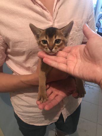 Продается котенок абиссинской породы.