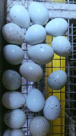 Инкубационные яйца перепел селадонт