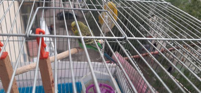 Продам попугая мальчик