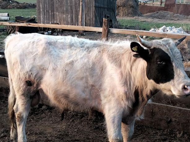 продам двух быков
