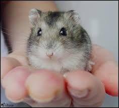 Hamsteri pui pereche