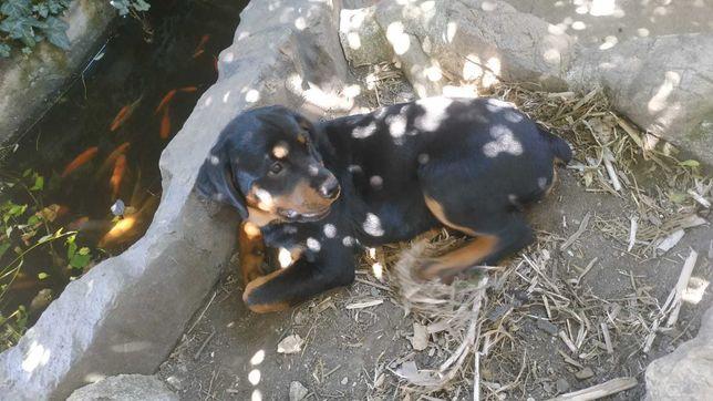 Pui Rottweiler cu pedigree talie mare