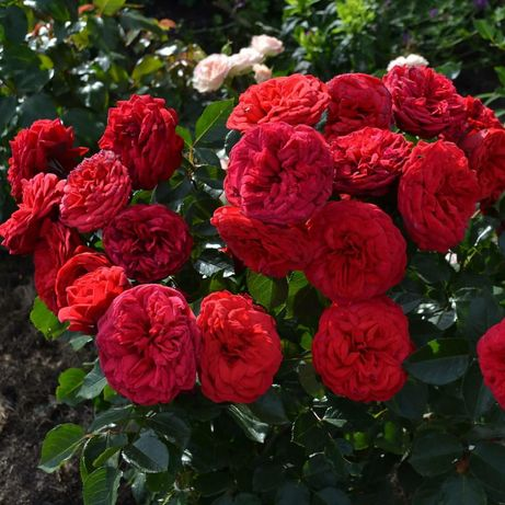 Саженцы сортовых роз