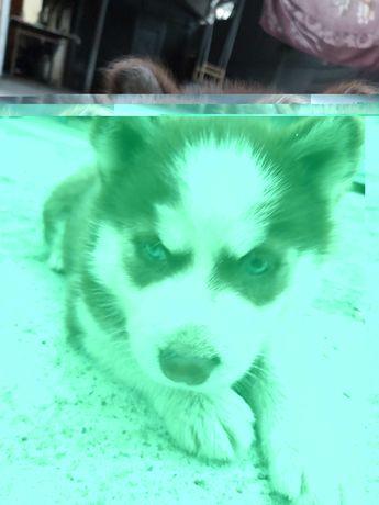 Хаски щенок девочка