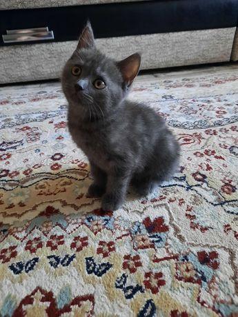 Продам котёнка. Шотландский скоттиш фолд прямоухий.