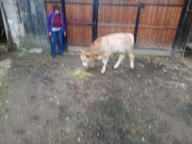 Vand vitei baltata romaneasca