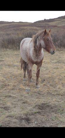 Семіз жемделген жылқы, откормленная лошадь