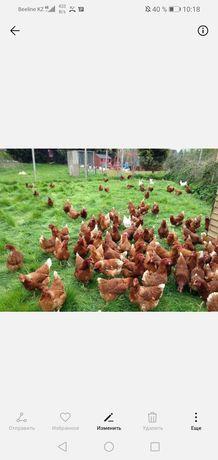 Двух недельные цыплята ломан браун
