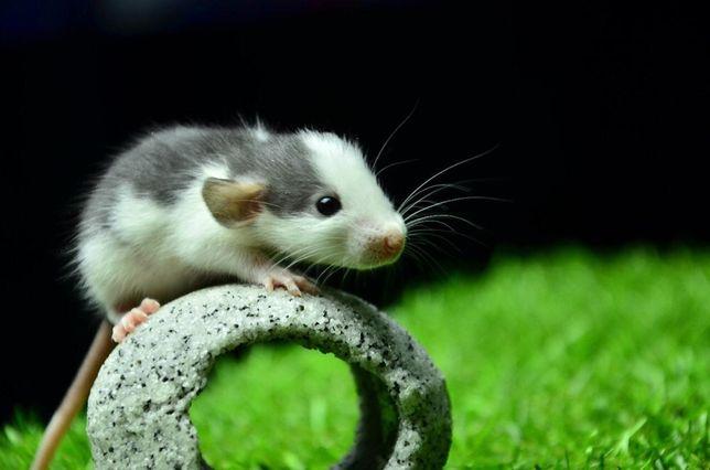 """Крысы в """"Живом Уголке"""" в Таугуле"""