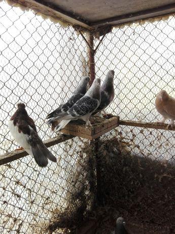 Гълъби пернишки капест и мардини