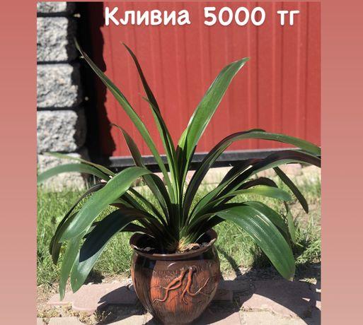 Кливиа комнатные растения