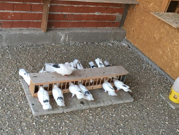 Закъртени гълъби