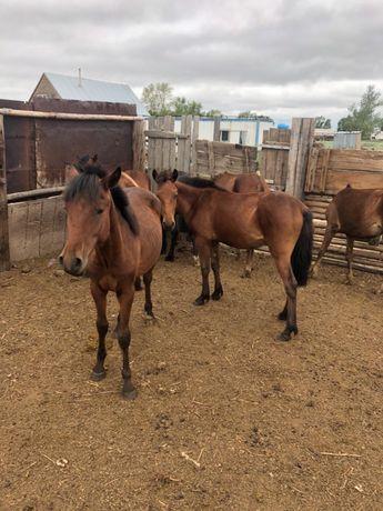 Продам лошадей (тайчики, жеребчики)