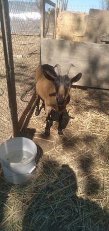Алпиские козы срочно 140000