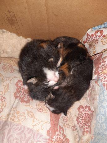Домашние кошки карлик