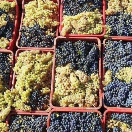 Struguri de vin Feteasca toate soiurile