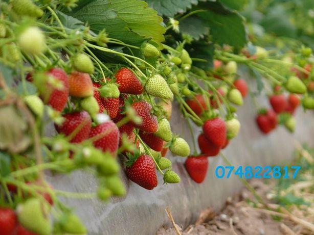 Stoloni Căpşuni REMONTANT(cu fructe mari)