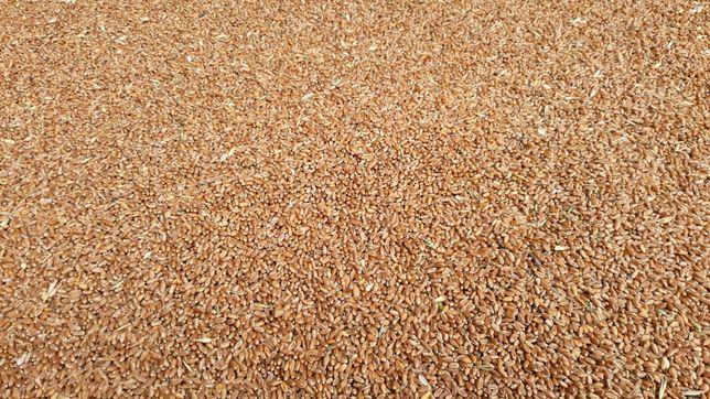 Vând grâu cantitate mare.