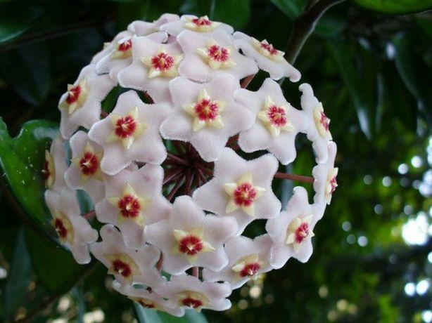 Хоя- цветок  комнатный и другие растения