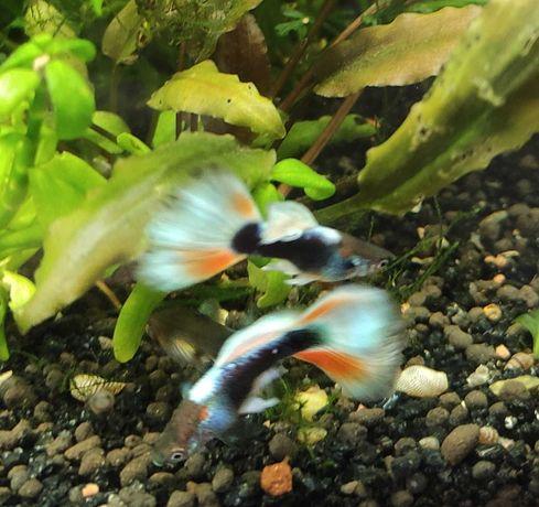 Гуппи ( аквариумная рыбка)