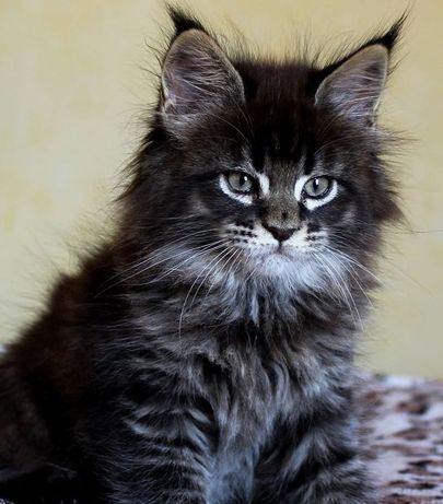 Котенок котята мейн кун