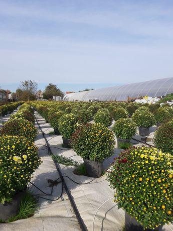 Crizanteme colorate