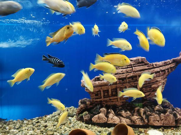 Аквариумные рыбки Колибри