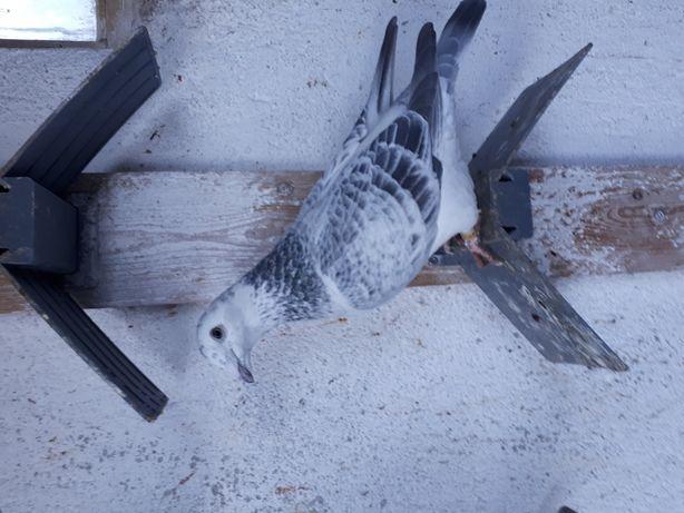 Porumbei voiajor standard de frumusete