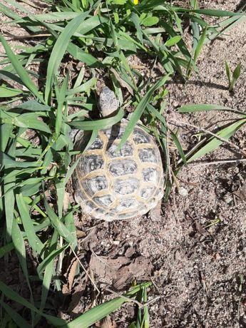 Черепаха, черепашка степная