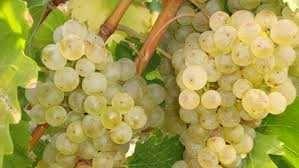 Struguri albi rosii rose vin must tuica
