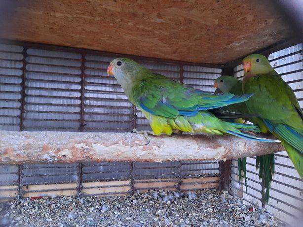 Vand papagal baraband