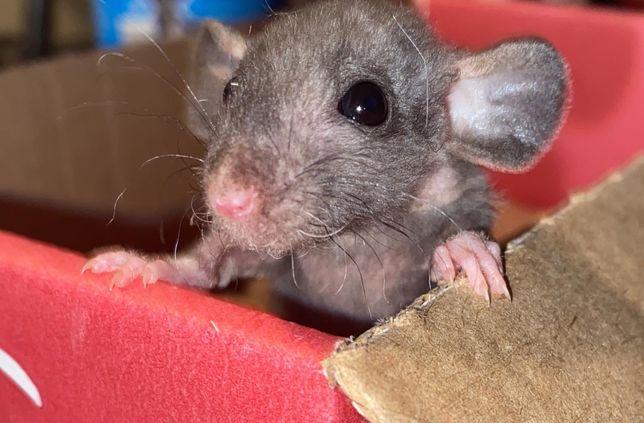 Крысята Дамбо,Сфинксы и т.д