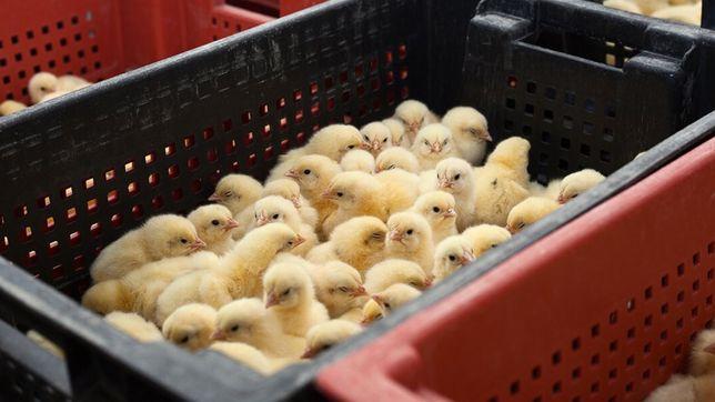 Суточные цыплята бройлеры 29 октября