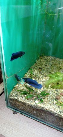 Продам аквариумных петушков