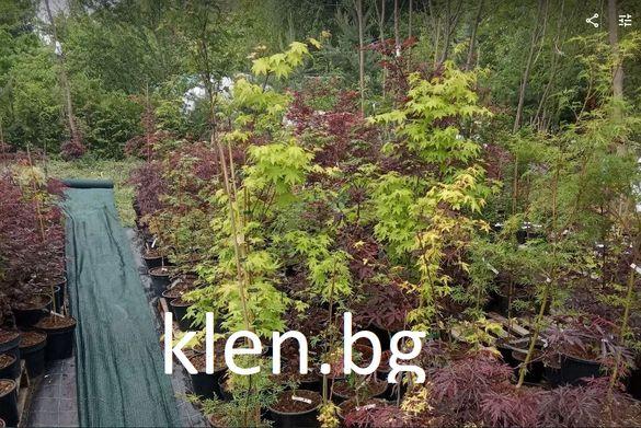 Японски клен (acer palmatum)
