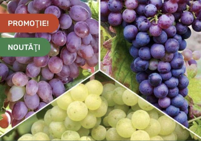 Struguri de Vin din Vită Nobila