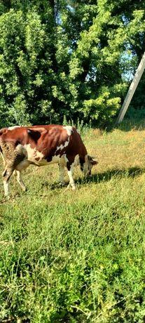 Продам корову 4 отвёл, дойная  даёт 13 литров 450000