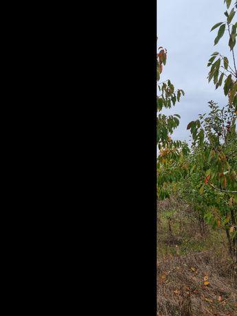 Pomi fructiferi si plante ornamentale