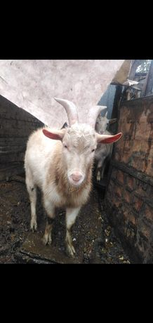 Продам коз и козла. Ешкі мен теке сатамын