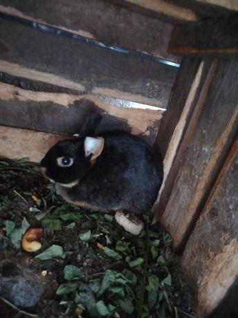 De vânzare iepuri rasa pitic foc negru,maro.