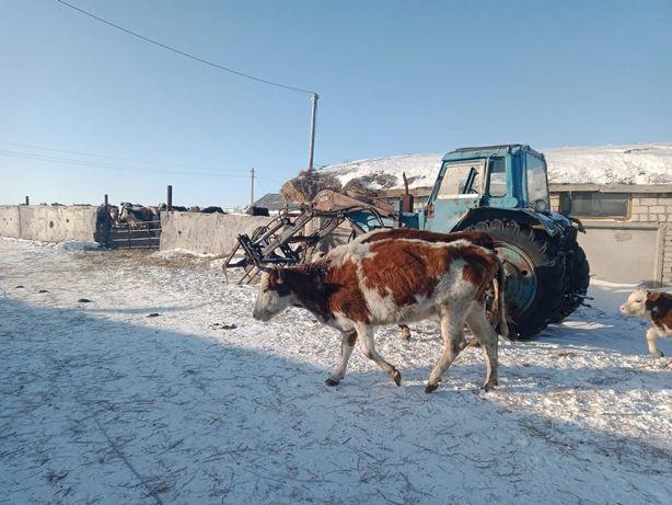 Продам тёлки годовалые, коров с телятами!!!