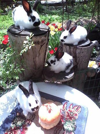 Кролики мясных пород Бабочка --Русский горностай.
