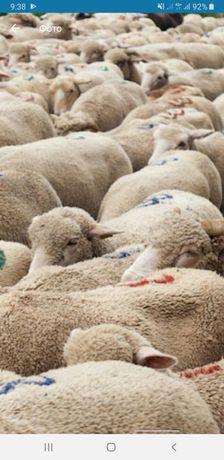 Все виды овцы бараны токтушки продаётся. гАлматы