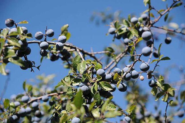 Porumbe (Prunus spinosa)