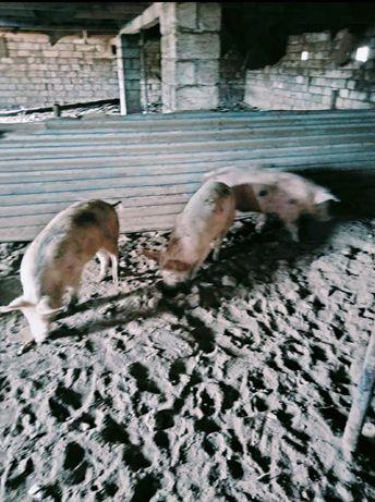свинина продаётся живое вес 1кг 1300тг