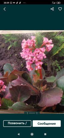 Продам  цветы  садовые