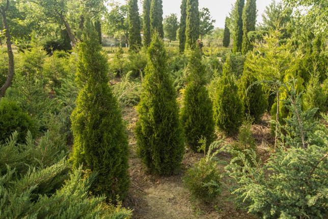 Pepiniera Arbori si Arbusti (Tuia)